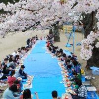 満開の桜の下でお花見給食