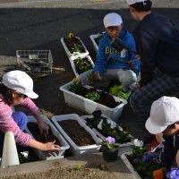 花のプレゼント準備。 5・6年生がプランターにパンジー苗を植えました。