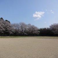 瑞竜中の桜 4月2日の様子